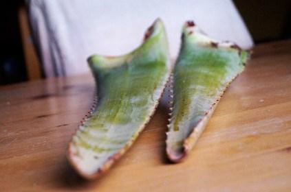 feuilles fraîches d'aloë vera