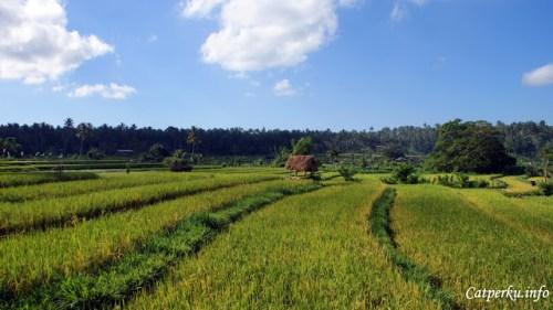 Hamparan sawah yang begitu hijau ini adalah ciri khas kawasan Bali bagian barat, tengah dan sedikit bagian timurnya. Kebetulan foto ini saya ambil sehabis pulang snorkeling dari Amed. Asik sekali berhenti sebentar, kabur dari teriknya matahari Pulau Dewata.