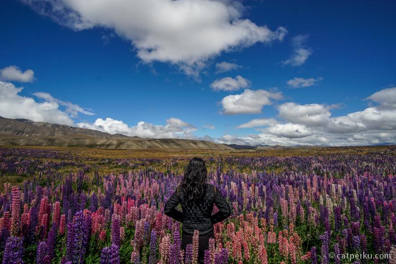 Wild Lupin Flower Farm Sebelum Danau Tekapo! Salah satu tempat fotogenik di New Zealand nih!