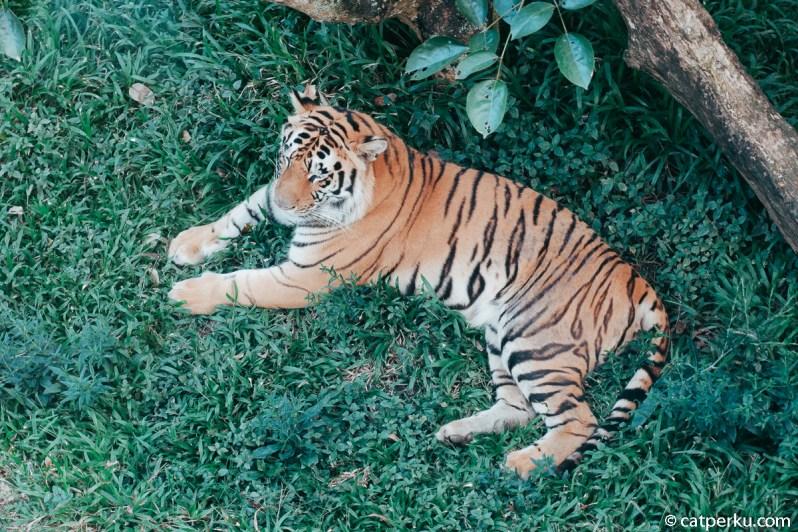 Ada juga harimau di kebun binatang ini