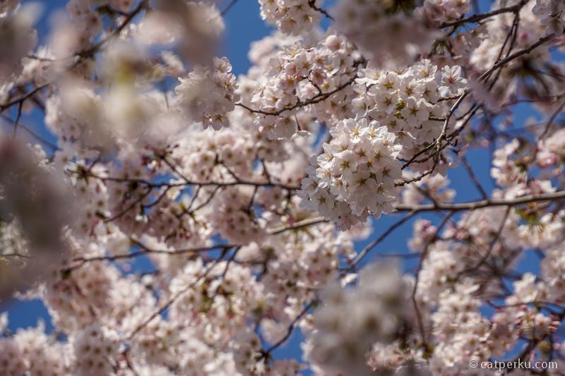 Ada yang bilang Bunga Sakura di Korea ini ditanam pada masa pemerintahan Jepang
