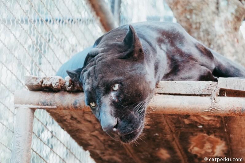 Ada yang tahu nama si kucing hitam raksasa ini apa?