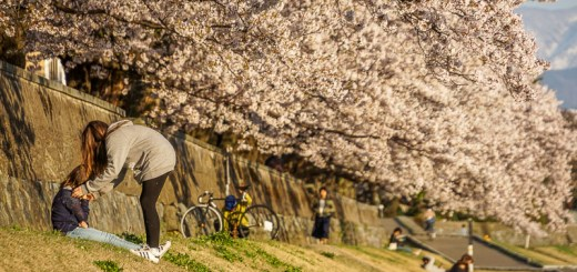 Bantaran Sungai Saigawa, tempat favorit piknik di Kanazawa ketika musim Bunga Sakura