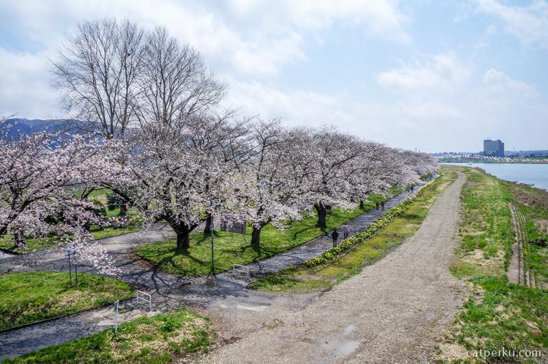 Bunga sakura di sepanjang sungai Kitakami. Liburan ke Jepang di musim semi, pasti pemandangan seperti ini yang dicari! Iya nggak?
