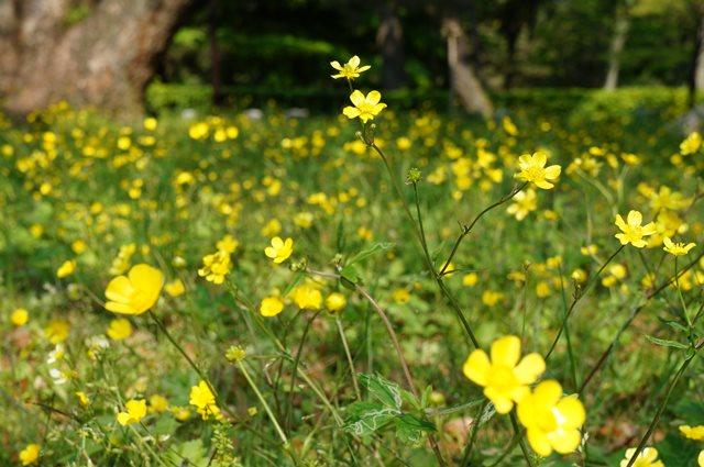 Bunga seperti ini banyak ditemukan disini