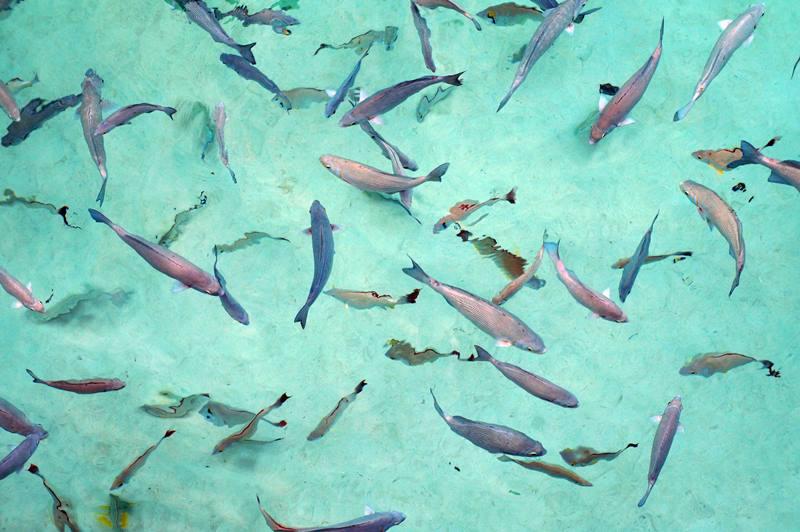 Mau berenang bareng mereka? Gampang, tinggar renang dikit di Pulau Maratua, pasti langsung ketemu!