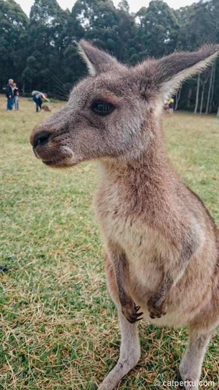 Imut banget kan? Setelah 4 bulan di Australia saya baru bisa bertemu mereka!