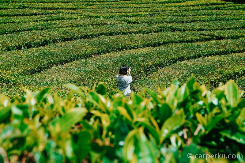 Kawasan sekitar tempat wisata di Bandung Selatan ini adalah berupa lutan pohon teh.