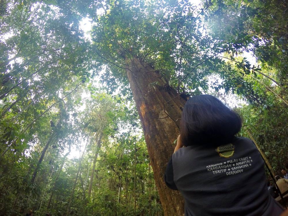 Kayu Ulin raksasa ini bagian dahan atasnya patah, namun tetap menjadi yang terbesar di Indonesia!