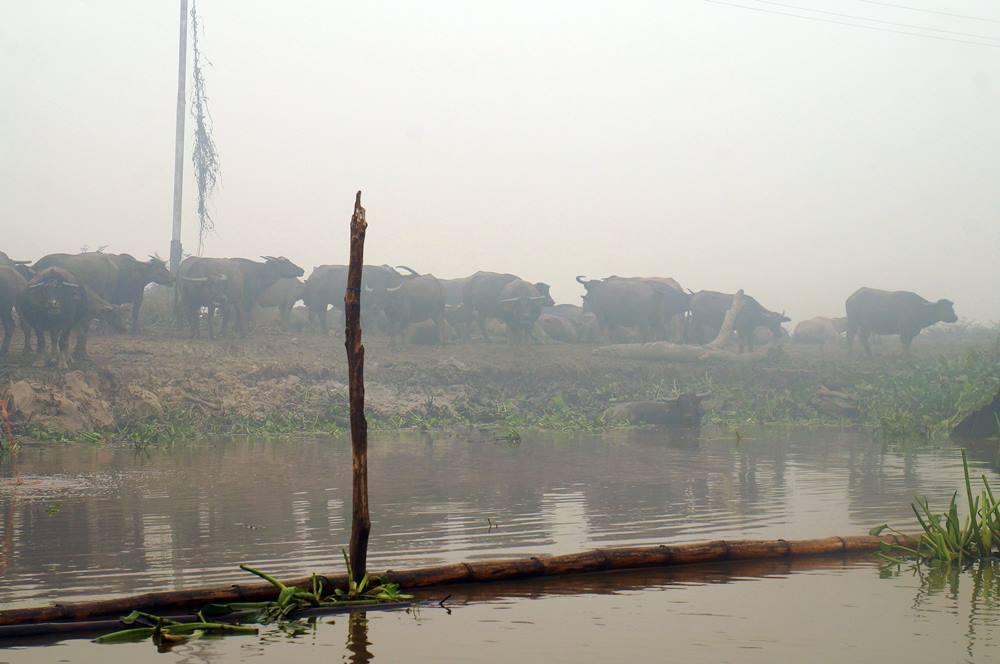 Kerbau Rawa di Danau Panggang Amuntai.