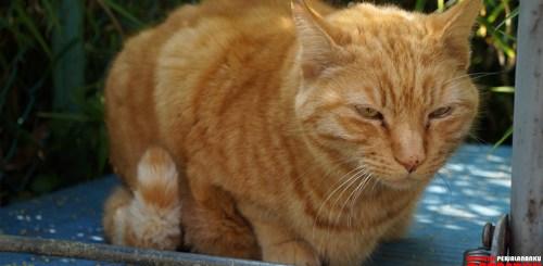 Kucing-Jepang-Si-Oranye-(cover)