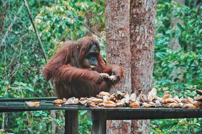 Melihat para Orangutan lagi makan intu benar-benar menggemaskan!