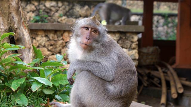 Kalau enggak lagi iseng, sebenarnya monyet di Pura Luhur Uluwatu ini lucu loh~ Apalagi kalau lagi pasang muka melas gini :D