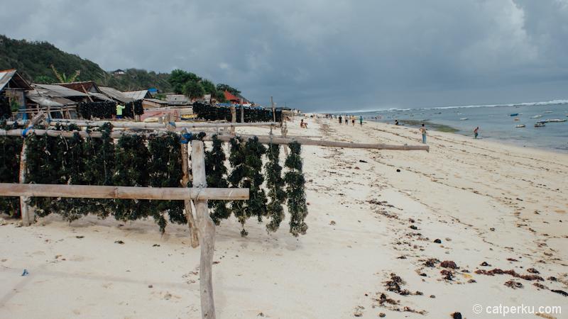 Rumput laut sedang dikeringkan