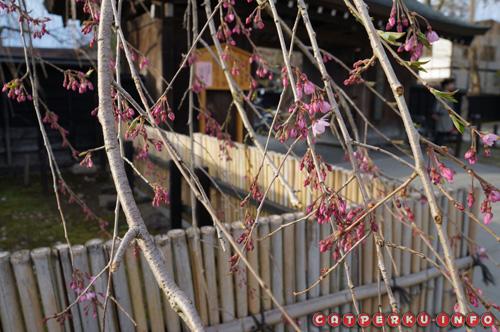Aih... Senengnya nemu Sakura yang hampir mekar :D