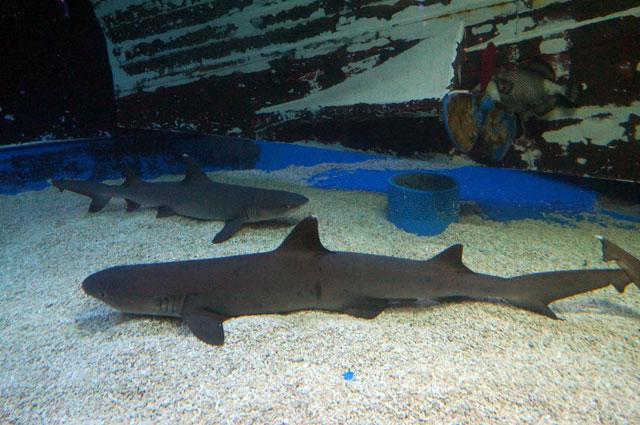 Di Manila Ocean Park Juga Ketemu Mr Shark!