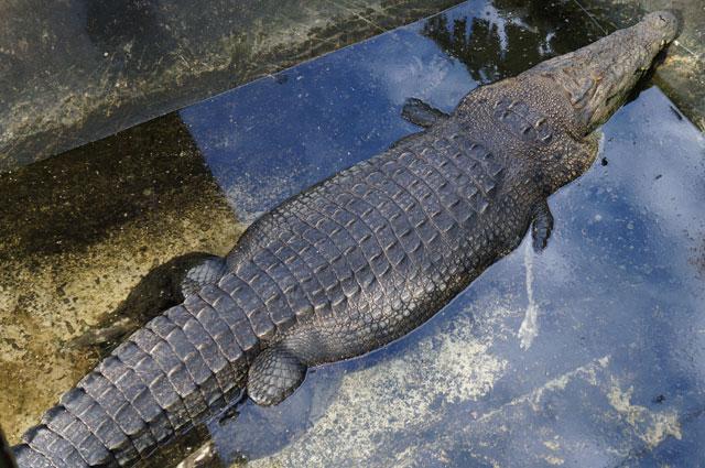 Ini beneran buaya darat yang lagi berendem lho. Ada yang mau ikutan? Mereka bisa ditemui di Palawan Wildlife Rescue and Conservation Center.