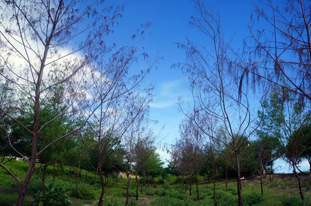 Pohon Cemara di dekat Pantai Aik Kangkung ini ditanam untuk menahan angin laut. Sayang sebagian terbakar :( semoga yang terbakar akan digantikan lagi dengan pohon baru.