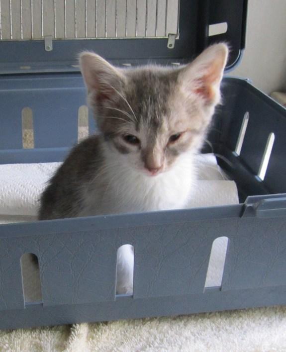 Metro Cat Rescue took this sick kitten to the vet.