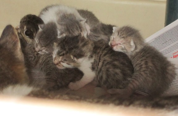 six-kittens0-from-lincoln42216