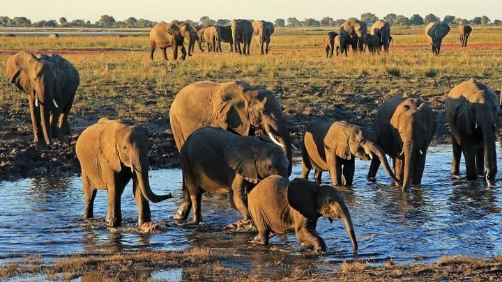 Botsuana tiene la mayor población de elefantes en África.