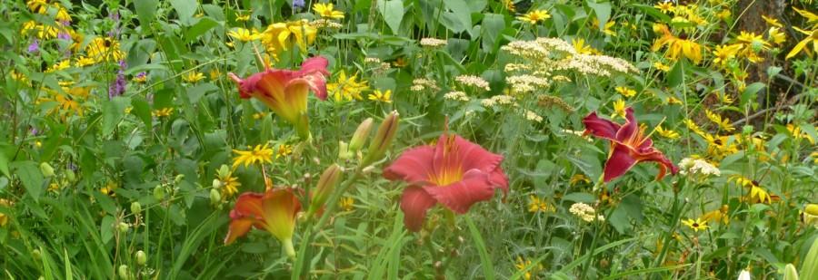 Daylily Funny Valentine Catrinas Garden
