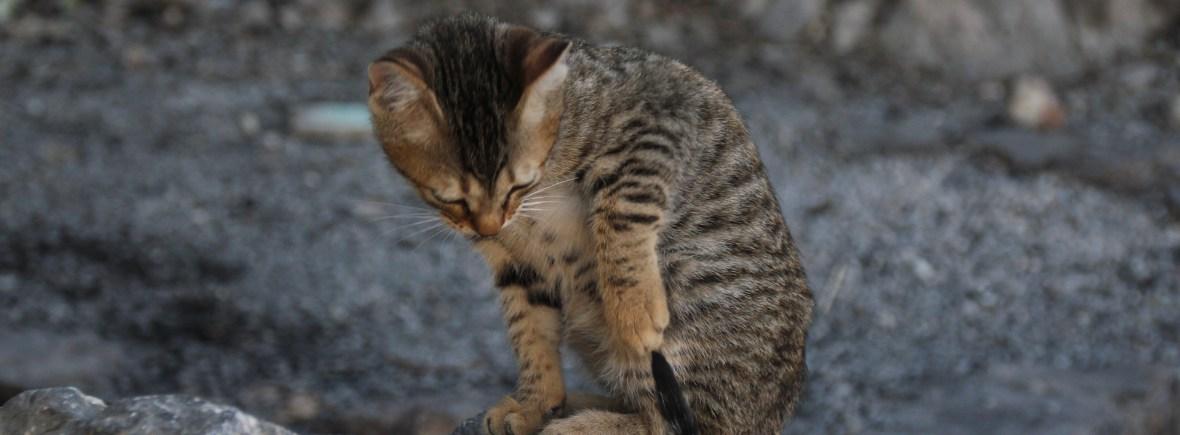 Katze auf Felsen spielt mit ihrem Schwanz - Beratung zu Training, Beschäftigung, Auslastung, Haltung, Clicker, Spiel, Bindung von Katze uns Mensch