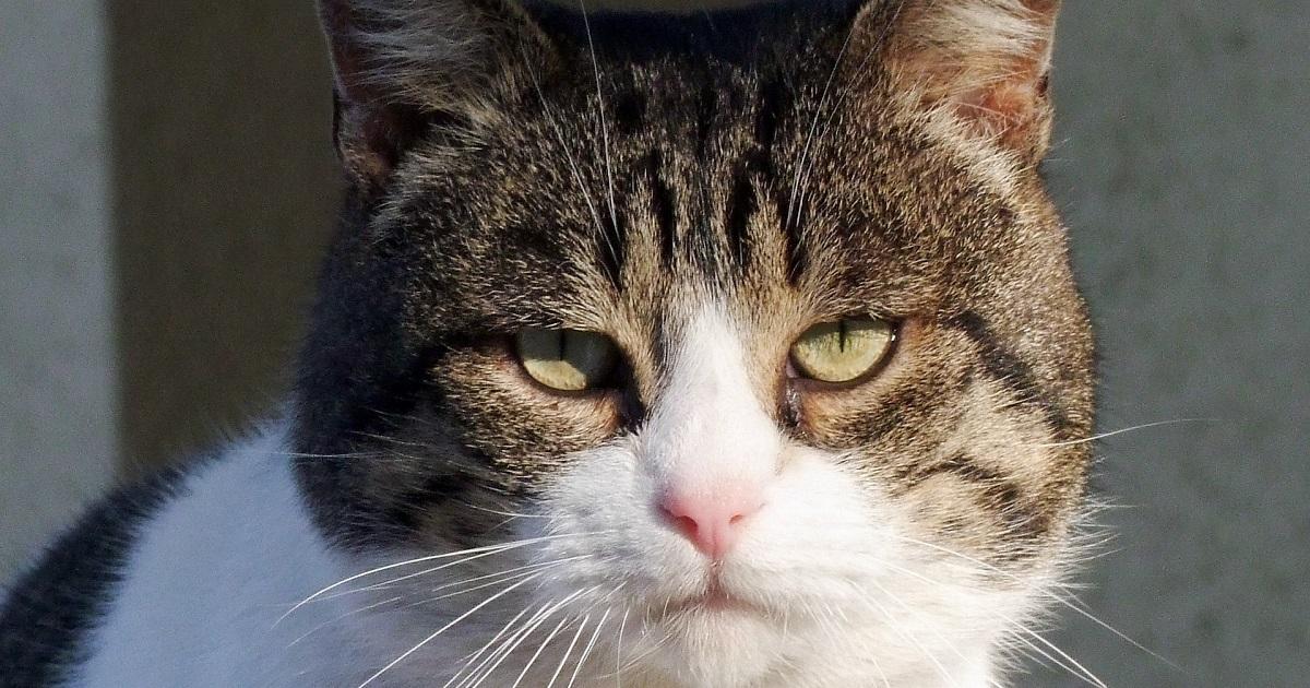 Getigerte Katze schaut in die Kamera; Katzenverhaltensberatung Berlin, Katzenberatung, Katzenpsychologie, aggressiv, greift Menschen an, pinkelt neben katzenklo, unsauber, katzen verstehen sich nicht, markiert