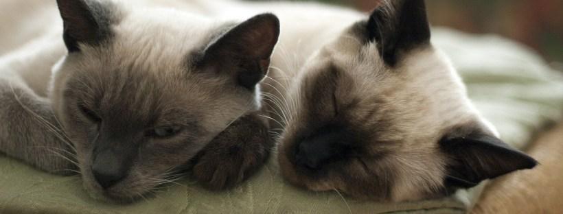 Zwei Siamkatzen liegen nebeneinander und schlafen - Katzenverhaltensberatung Berlin, Katzenpsychologin, Tiertraining, Probleme mit Katze, aggressiv, beißt, kratzt, macht neben Katzenklo, verstehen sich nicht mehr, kämpfen