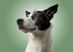 Augie dog