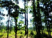The Sandhill Loop opens up to a sparse forest of longleaf pines. Plus, no mosquitoes!