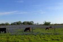Roadtrip Cows