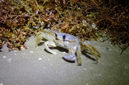 Ghost crab awesomeness.