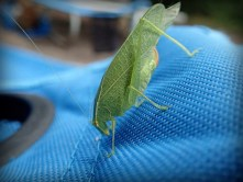 Close up of a katydid on arm of chair