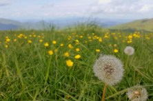 Dandelions on Max Patch