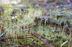 dew on moss sprouts