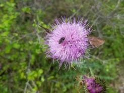 Several insects gathered on a thistle flower with a huge spider waiting on the flower underneath.