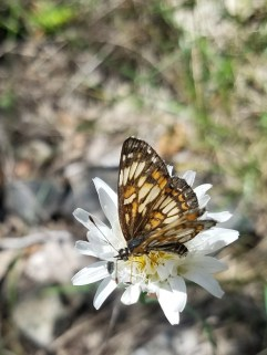 Butterfly flapping its wings on a white wildflower.