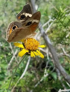 Butterfly on a yellow wildflower.