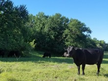 Cattle on the roadside just outside of the park.