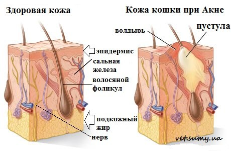 Gatos de pele de acne saudável e doente