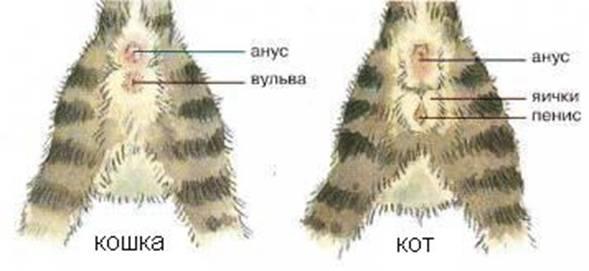 Котяттардағы орналасуы