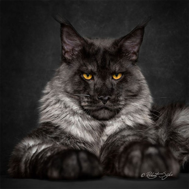 robertsijka3 Majestic Portraits of Maine Coon Cats That Become Mythical Creatures