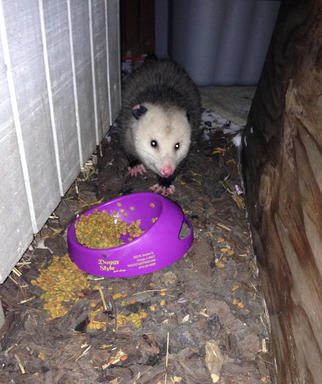 Opossum In My Yard - Cats In My Yard