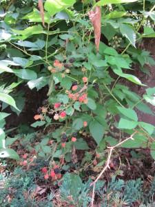 IMG_2595 Blackberry -WG