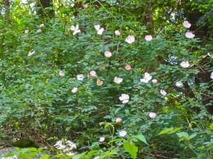 Wild (Virginia) Rose -WG