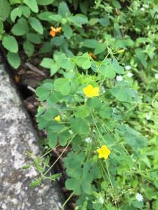 IMG_4948 Yellow Wood Sorrel -LK
