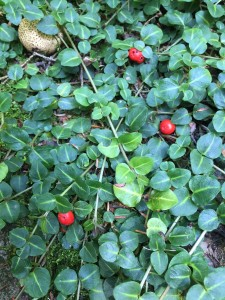 IMG_5303 Partridge berry -LK