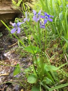 Marsh Blue Violet -LK