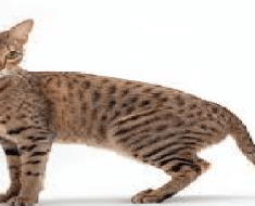 8 BIGGEST DOMESTIC CAT